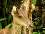 Deer at the Madang Resort Hotel