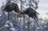 Havsörn [White-tailed Eagle] (IMG_2749)