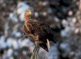 Havsörn [White-tailed Eagle] (IMG_2878)