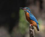 Kungsfiskare [Common Kingfisher] (IMG_3856)