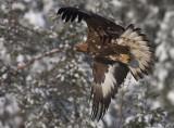 Kungsörn [Golden Eagle] (IMG_2295)