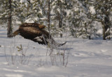 Kungsörn [Golden Eagle] (IMG_2393)