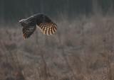 Lappuggla [Great Grey Owl] (IMG_1837)