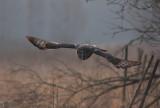 Lappuggla [Great Grey Owl] (IMG_1894)