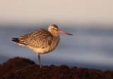 Myrspov [Bar-tailed Godwit] (IMG_4090)