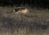 Lappuggla [Great Grey Owl] (IMG_2753)