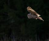 Lappuggla [Great Grey Owl] (IMG_2784)