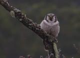 Hökuggla [Northern Hawk Owl] (IMG_5049)