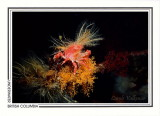 206   Cryptic kelp crab (Pugettia richii) on orange hydroids, Browning Passage, Queen Charlotte Strait