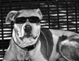 Sunglass Pit Bull #1