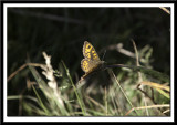 Unknown Butterfly (Wall Brown??)
