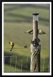 Finches on the Fence
