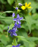 Tall Bellflower 1