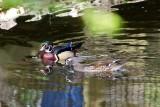 Wood Duck 3