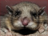 Dormouse (glis - glis)
