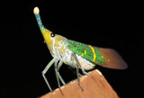 Borneo Insects