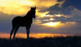 Colt against the sunset.