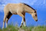 Runt Stallion.