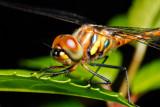 Dragonflies/Damselflies