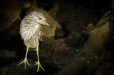Bihoreau gris, juvénile -- Black-crowned Night Heron, juvenile