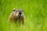 Marmotte - La tondeuse