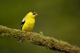 Chardonneret jaune, mâle en plumage nuptial -- American Goldfinch