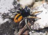 Philaeus chrysops (m)