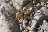 Arctosa maculata