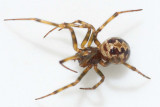 Steatoda triangulosa (f)