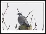 Pigeon11.jpg