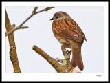Sleepy Sparrow.jpg