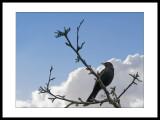 Blackbird 2.jpg