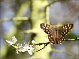 Speckled Wood Butterfly.jpg