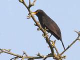 Blackbird 3.jpg