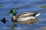 Meandering Duck