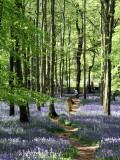Bluebell Wood 8