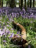 Bluebell Wood 4