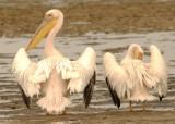 34 Pair of Pelicans.jpg