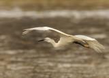 36 Snowy Egret in Flight.jpg