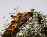 37 Giraffe feed.jpg