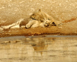38 Lioness & Cub.jpg