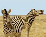 39 Zebra Connection.jpg
