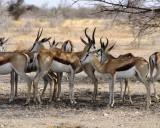 41 Flock of Springboks.jpg