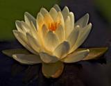 1 Lovely Lotus.tiff