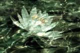 2 Lotus Reflections.tiff
