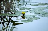 Loisa Pond Lily.tiff