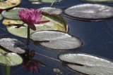 Aug:  Water Lily.jpg
