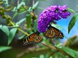 Oct:  Monarchs.jpg