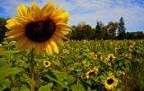 Sep:  Sunflower Field.jpg
