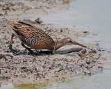 Clapper Rail stealing fish from a Gulf Saltmarsh Snake